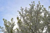 天空下的樱花树