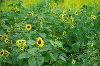 田园里的向日葵花