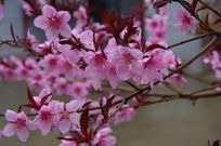 几枝绽放的桃花