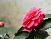 盛开的粉色茶花侧拍