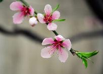 一枝粉红色桃花