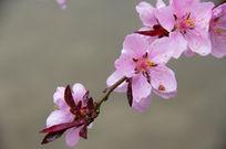 一枝绽放的粉色桃花