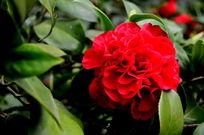 红色茶花盛开