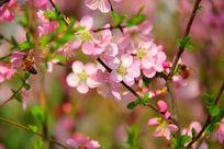 海棠花盛开