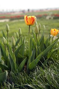 绿草丛中的郁金香