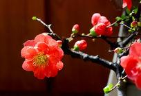 中华海棠花