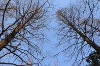 蓝天下的枯树