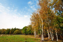 秋日蓝天下的白桦林