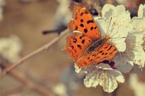 停在白色花朵上的微距蝴蝶