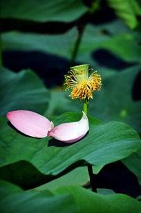 荷叶上的荷花花瓣与莲蓬