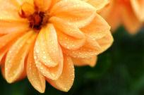 金黄菊花的花瓣