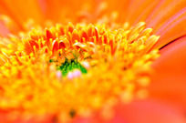 金黄色菊花的花蕊