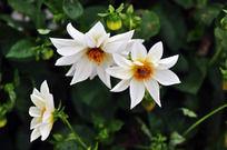 绿叶衬托下的白色菊花