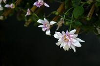白色菊花淡紫色花蕊