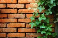 红砖墙和藤蔓植物