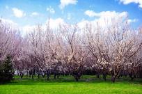 蓝天白云草地樱花林