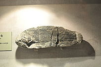 中华鳞齿鱼化石