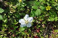 野草莓的白花