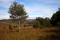 草原上的生长的一棵白桦树