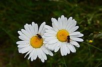 白色菊花上的小蜜蜂