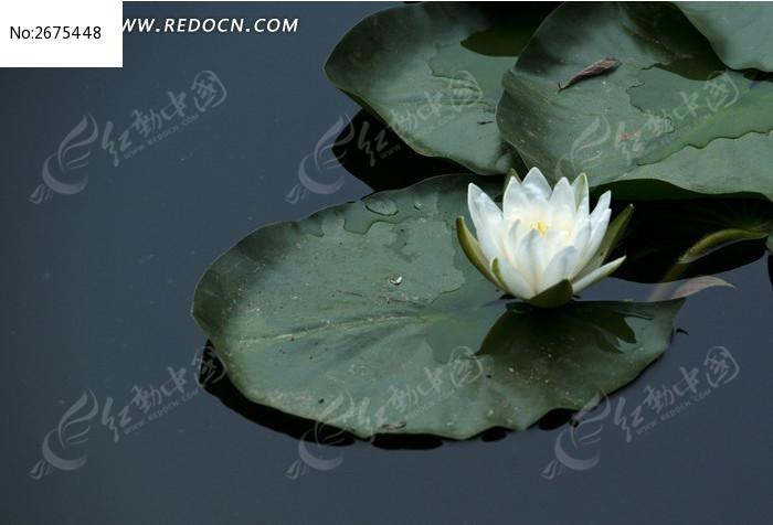 池塘里的白荷花图片