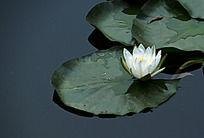 池塘里的白荷花