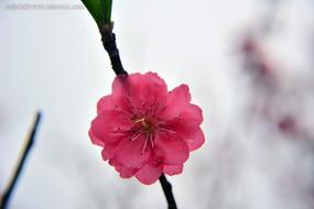 粉红的桃花