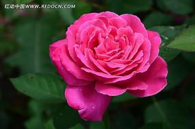 瑰丽娇嫩的月季花