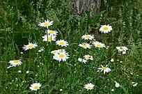 花丛中盛开的白色菊花