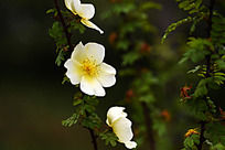 花枝上的黄刺玫