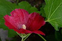 水嫩的蜀葵花