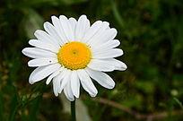挺拔的白色菊花