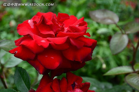 秀丽的红色玫瑰花