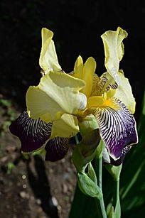 淡雅清新的鸢尾花