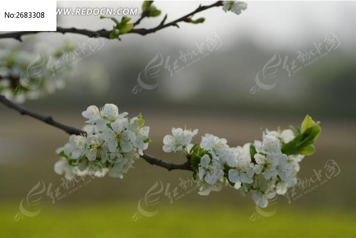 枝头上的海棠花图片