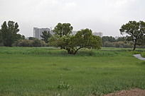 远处分叉的大树