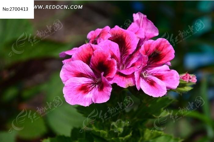 一朵紫色锦葵
