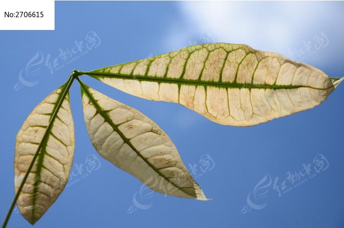 蓝天下枯黄的树叶图片