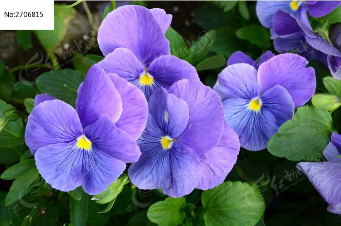 色彩斑谰的天竺葵图片