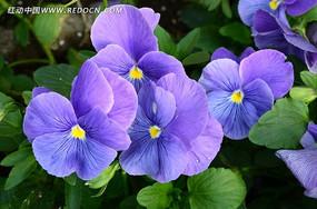 色彩斑谰的天竺葵