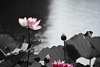 池塘边上盛开的荷花 阳光下的荷花