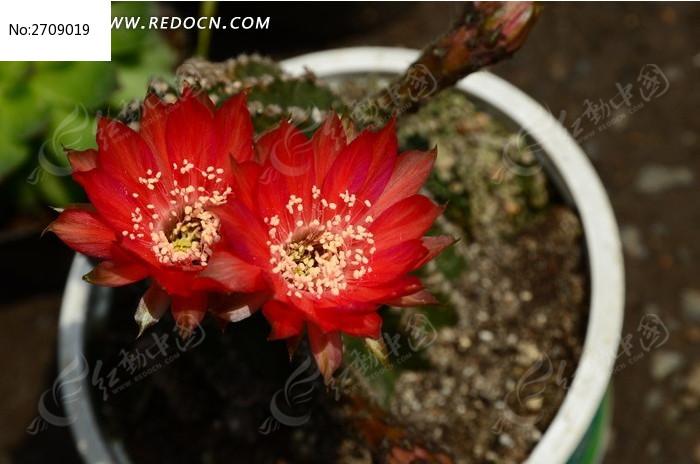 银莲花图片 花语图片