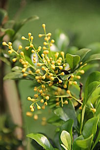 微距下的绿色叶子上的黄色果实