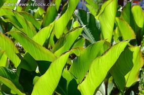 一片片绿色的美人蕉叶子
