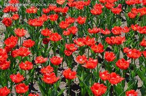 红艳欲滴的郁金香花海