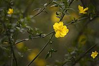 花枝上的一朵刺玫花