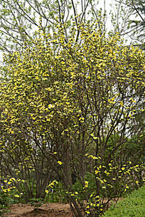 两棵黄刺玫