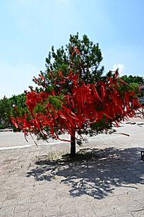 青松上的红飘带
