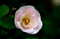 粉色小朵月季花