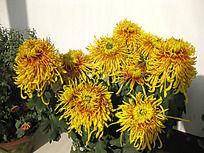 金黄色菊花